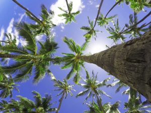looking up at palm trees in Belize - Belize real estate trends purchase itzana luxury real estate Belize real estate attorney best Belize real estate lawyer buy belize real estate belize real estate law firm invest in belize real Estate