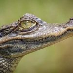 baby crocodile - real estate agents in Belize and licensing belize real estate lawyer